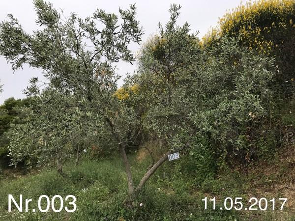 Nr. 003 Olivenbaum Patenschaft aus dem Generations-Olivenhain Christakis
