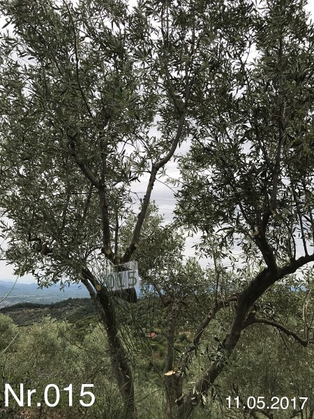 Nr. 015 Olivenbaum Patenschaft aus dem Generations-Olivenhain Christakis