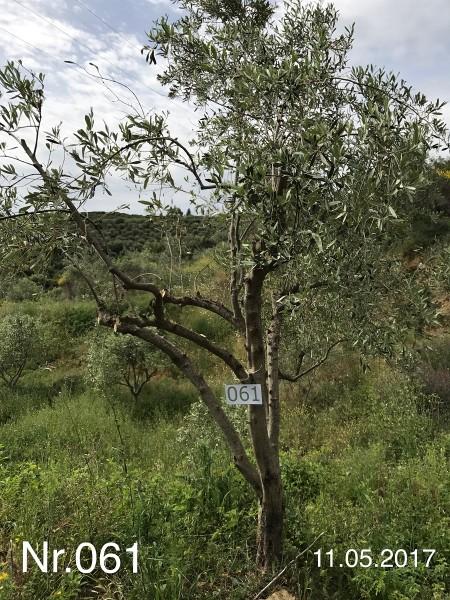 Nr. 061 Olivenbaum Patenschaft aus dem Generations-Olivenhain Christakis