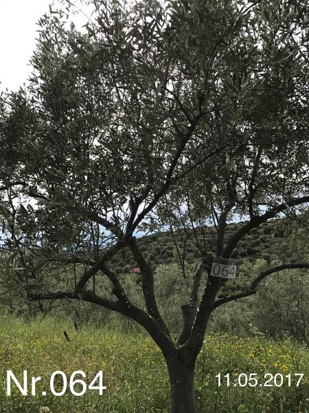 Nr. 064 Olivenbaum Patenschaft aus dem Generations-Olivenhain Christakis