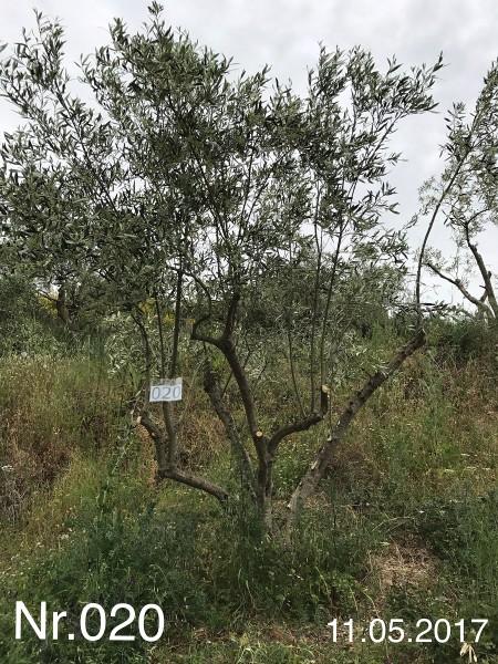 Nr. 020 Olivenbaum Patenschaft aus dem Generations-Olivenhain Christakis