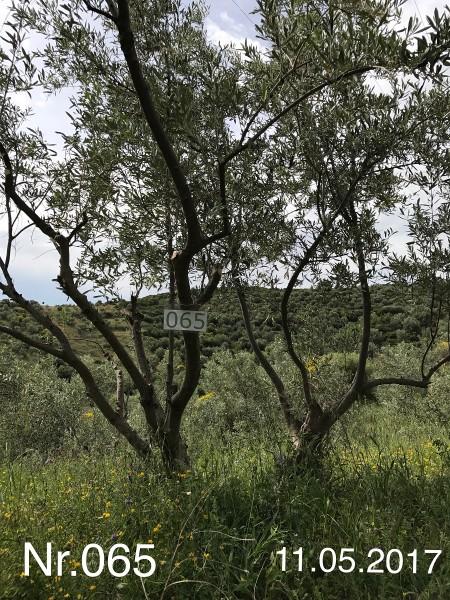 Nr. 065 Olivenbaum Patenschaft aus dem Generations-Olivenhain Christakis