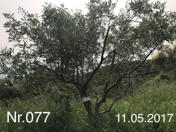 Nr. 077 Olivenbaum Patenschaft aus dem Generations-Olivenhain Christakis
