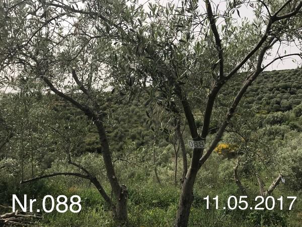 Nr. 088 Olivenbaum Patenschaft ''OLIVER URBAN'' aus dem Generations-Olivenhain Christakis