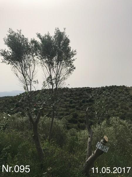 Nr. 095 Olivenbaum Patenschaft aus dem Generations-Olivenhain Christakis