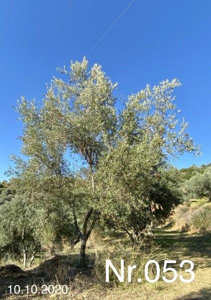 Nr. 053 Olivenbaum Patenschaft ''LORENZ BRAUCHLE'' aus dem Generations-Olivenhain Christakis