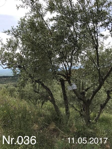 Nr. 036 Olivenbaum Patenschaft aus dem Generations-Olivenhain Christakis