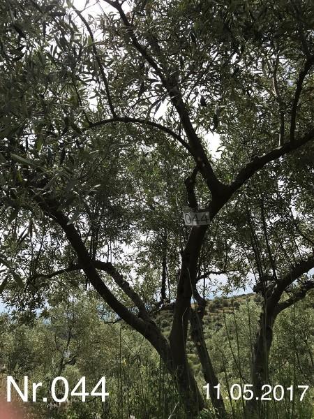 Nr. 044 Olivenbaum Patenschaft aus dem Generations-Olivenhain Christakis