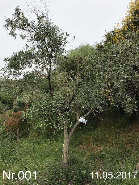 Nr. 001 Olivenbaum Patenschaft ''KAI MALZER'' aus dem Generations-Olivenhain Christakis
