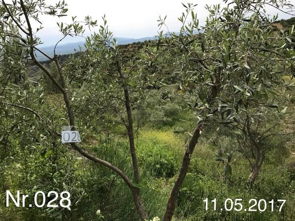 Nr. 028 Olivenbaum Patenschaft aus dem Generations-Olivenhain Christakis