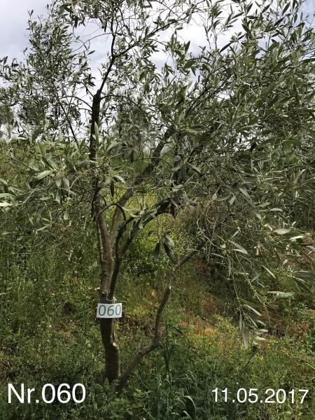 Nr. 060 Olivenbaum Patenschaft aus dem Generations-Olivenhain Christakis