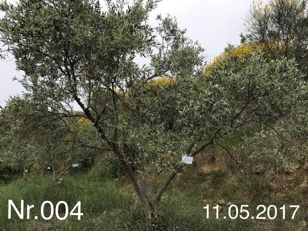 Nr. 004 Olivenbaum Patenschaft aus dem Generations-Olivenhain Christakis