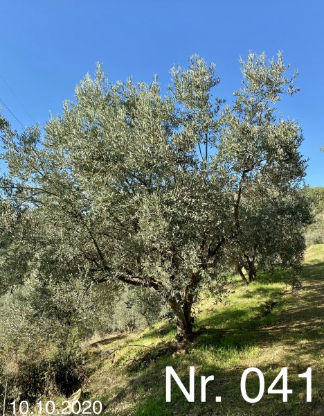 Nr. 041 Olivenbaum Patenschaft ''AMELIE'S LEBENSBAUM'' aus dem Generations-Olivenhain Christakis