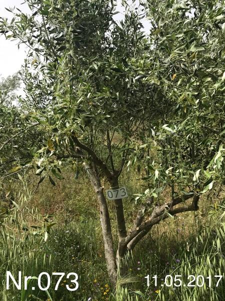 Nr. 073 Olivenbaum Patenschaft aus dem Generations-Olivenhain Christakis
