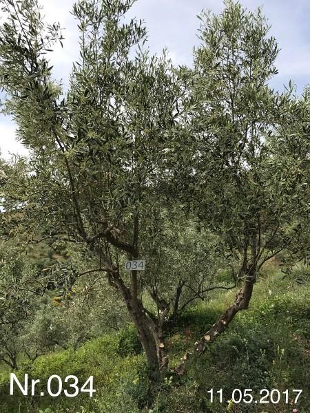 Nr. 034 Olivenbaum Patenschaft aus dem Generations-Olivenhain Christakis