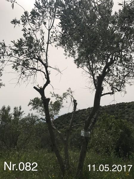 Nr. 082 Olivenbaum Patenschaft aus dem Generations-Olivenhain Christakis