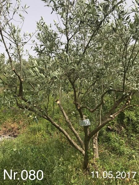 Nr. 080 Olivenbaum Patenschaft ''ganz schön keck'' aus dem Generations-Olivenhain Christakis