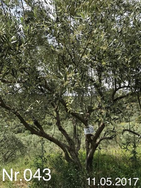 Nr. 043 Olivenbaum Patenschaft aus dem Generations-Olivenhain Christakis