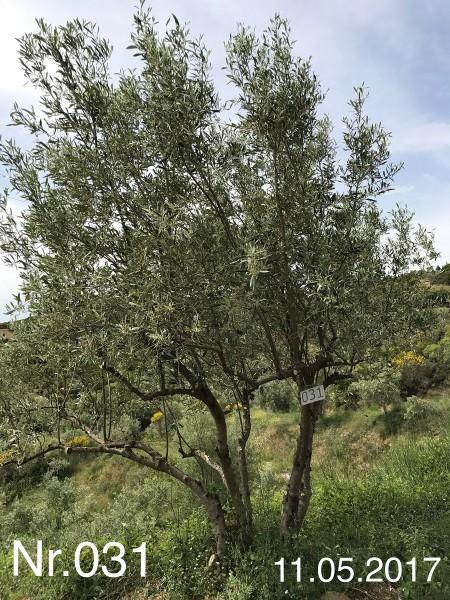 Nr. 031 Olivenbaum Patenschaft aus dem Generations-Olivenhain Christakis
