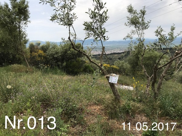 Nr. 013 Olivenbaum Patenschaft aus dem Generations-Olivenhain Christakis