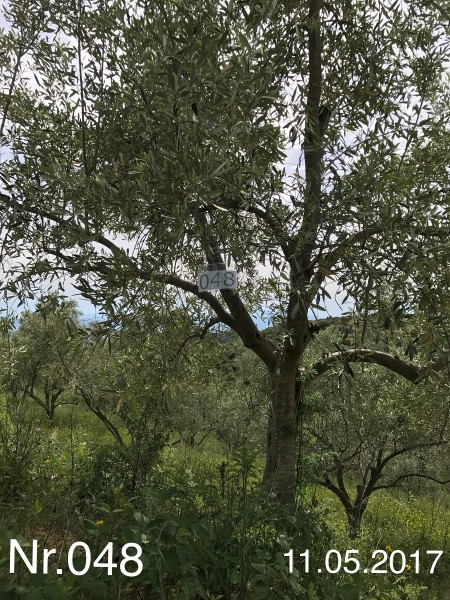 Nr. 048 Olivenbaum Patenschaft aus dem Generations-Olivenhain Christakis