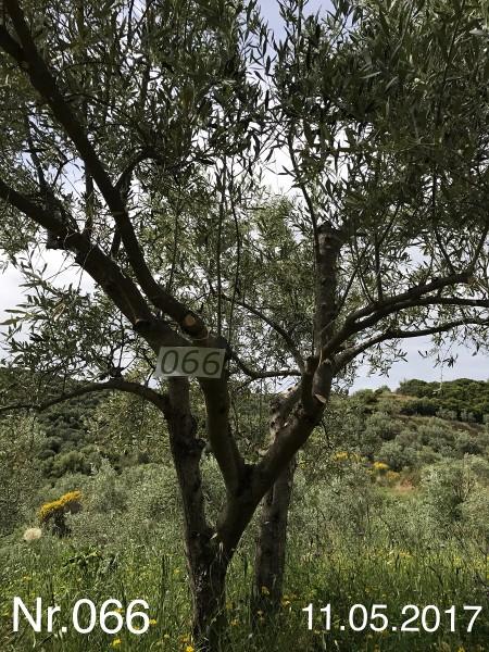 Nr. 066 Olivenbaum Patenschaft ''Yvonne Schaaf'' aus dem Generations-Olivenhain Christakis