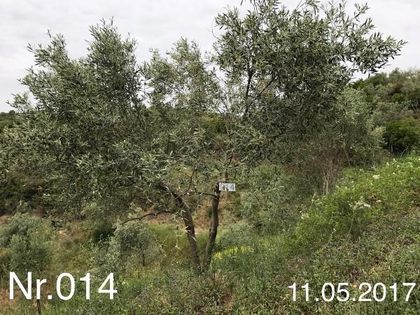 Nr. 014 Olivenbaum Patenschaft aus dem Generations-Olivenhain Christakis