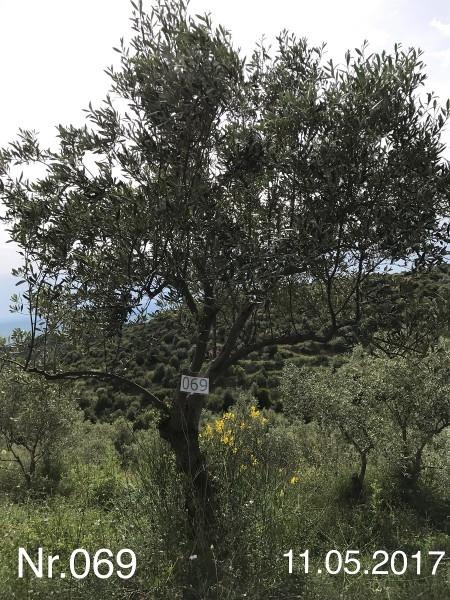 Nr. 069 Olivenbaum Patenschaft aus dem Generations-Olivenhain Christakis