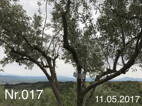 Nr. 017 Olivenbaum Patenschaft aus dem Generations-Olivenhain Christakis