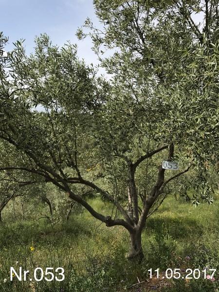 Nr. 053 Olivenbaum Patenschaft aus dem Generations-Olivenhain Christakis