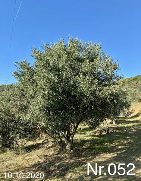 Nr. 052 Olivenbaum Patenschaft ''VALENTIN BRAUCHLE'' aus dem Generations-Olivenhain Christakis