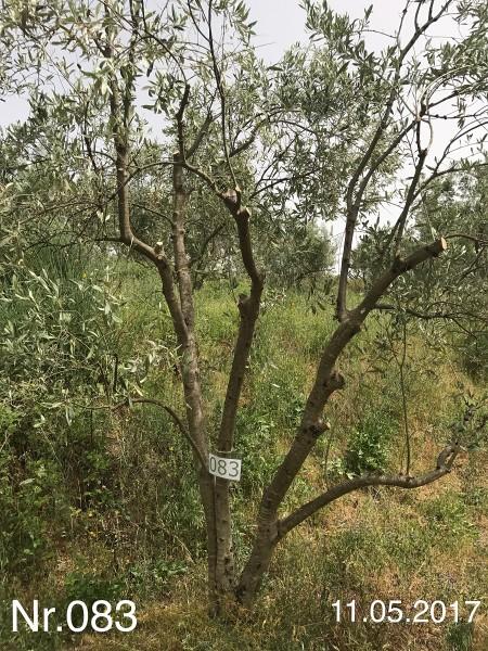 Nr. 083 Olivenbaum Patenschaft aus dem Generations-Olivenhain Christakis