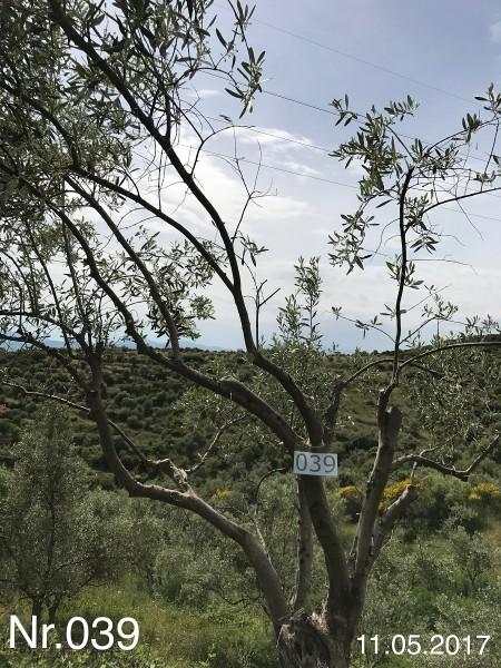 Nr. 039 Olivenbaum Patenschaft aus dem Generations-Olivenhain Christakis