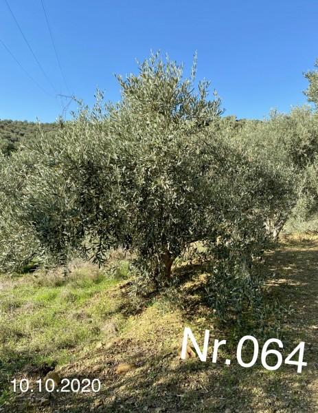 Nr. 064 Olivenbaum Patenschaft ''ROBIN GERKE'' aus dem Generations-Olivenhain Christakis
