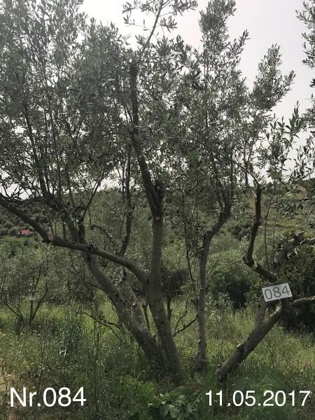 Nr. 084 Olivenbaum Patenschaft aus dem Generations-Olivenhain Christakis