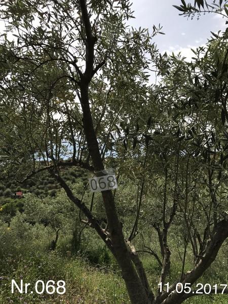 Nr. 068 Olivenbaum Patenschaft aus dem Generations-Olivenhain Christakis