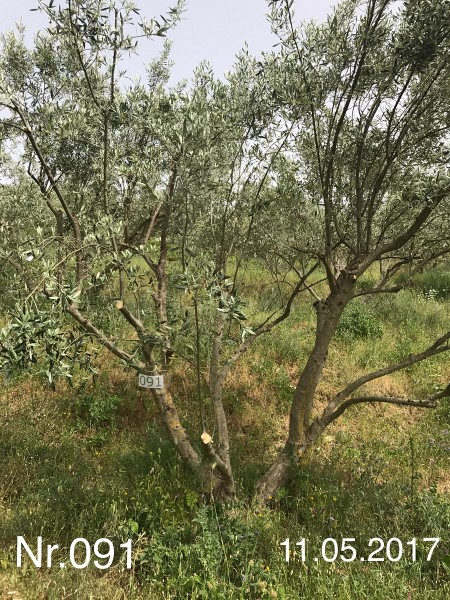 Nr. 091 Olivenbaum Patenschaft aus dem Generations-Olivenhain Christakis