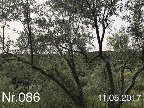 Nr. 086 Olivenbaum Patenschaft aus dem Generations-Olivenhain Christakis