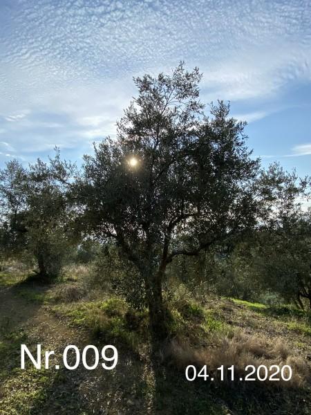 Nr. 009 Olivenbaum Patenschaft ''ganz schön keck'' aus dem Generations-Olivenhain Christakis