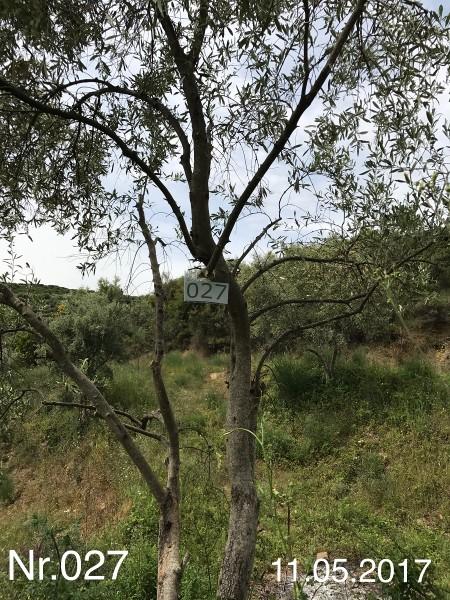 Nr. 027 Olivenbaum Patenschaft aus dem Generations-Olivenhain Christakis