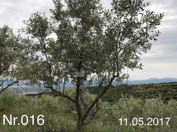 Nr. 016 Olivenbaum Patenschaft aus dem Generations-Olivenhain Christakis