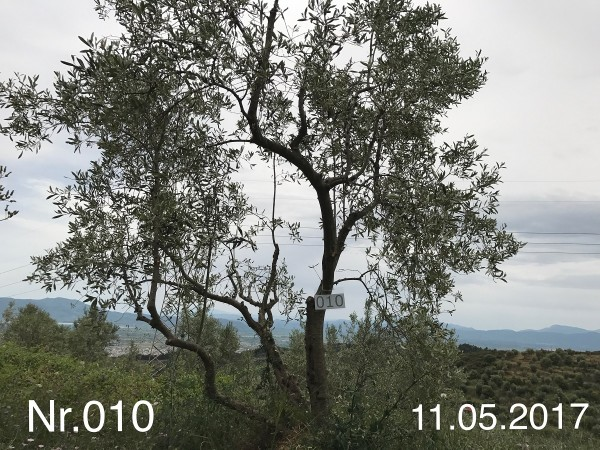 Nr. 010 Olivenbaum Patenschaft aus dem Generations-Olivenhain Christakis
