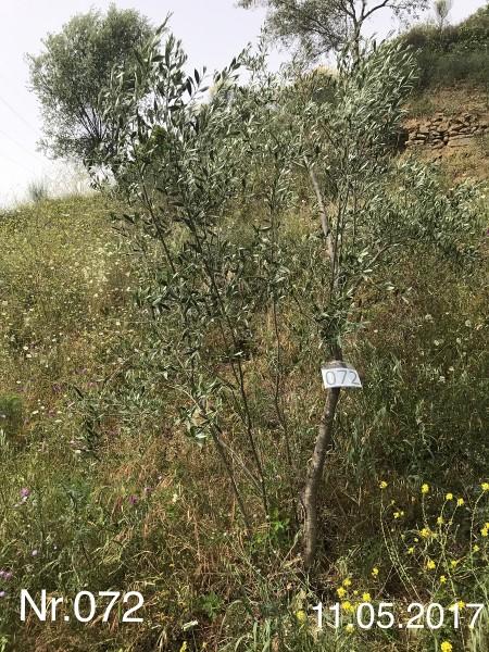 Nr. 072 Olivenbaum Patenschaft ''ganz schön keck'' aus dem Generations-Olivenhain Christakis