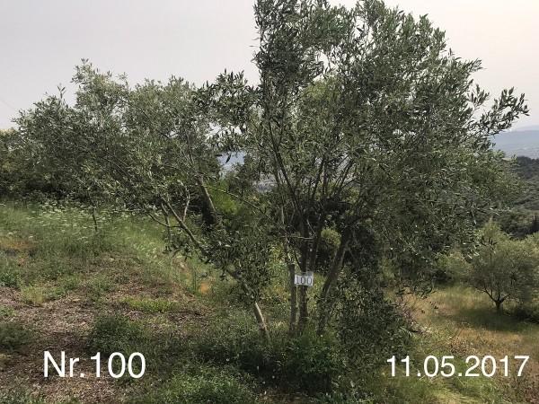 Nr. 100 Olivenbaum Patenschaft aus dem Generations-Olivenhain Christakis