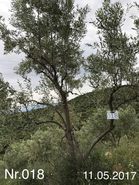 Nr. 018 Olivenbaum Patenschaft aus dem Generations-Olivenhain Christakis