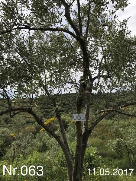 Nr. 063 Olivenbaum Patenschaft aus dem Generations-Olivenhain Christakis